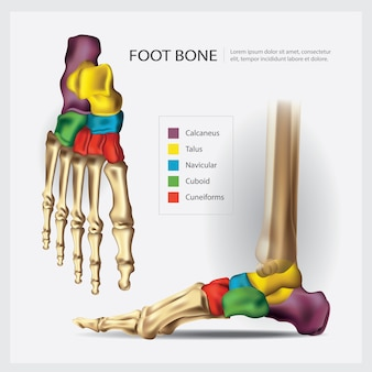 人間の解剖学的足の骨のイラスト