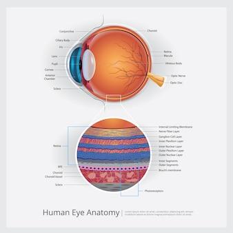 人間の目の解剖学のベクトル図