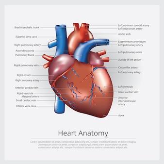 人間の心臓の解剖学のベクトル図