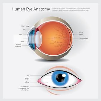 人間の目の解剖学の図