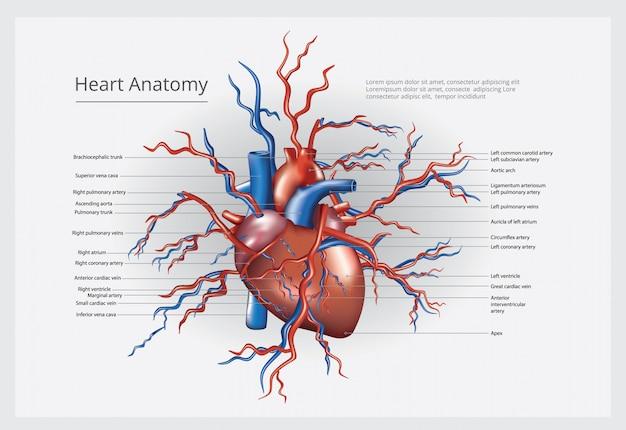心臓の解剖学のベクトル図