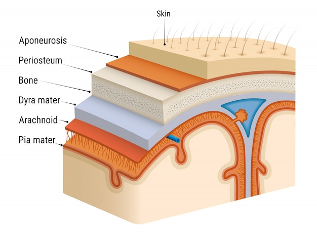 Мозговые оболочки мозга