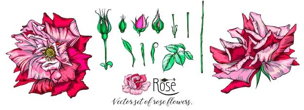 ピンクのバラの花のベクトルを設定します。