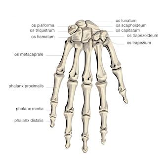 手のひらの骨の解剖学