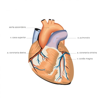 心臓の解剖学