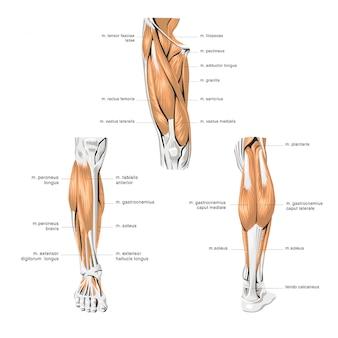 人体解剖学の足の筋肉
