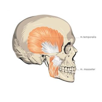 筋肉の頭蓋骨の解剖学