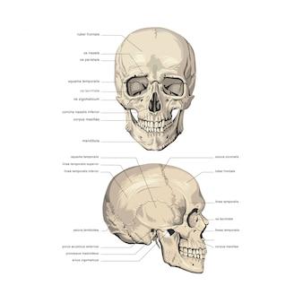 頭蓋骨の解剖学