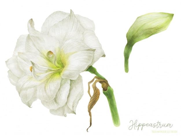 Гиппеаструм акварельный цветок и бутон