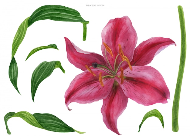 アジアのリリースターゲイザーの花と葉