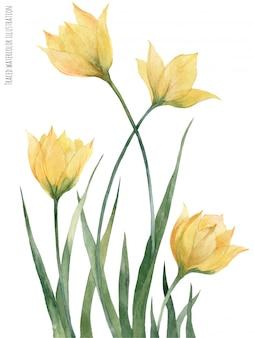 Желтые лесные тюльпаны