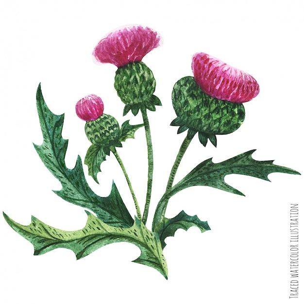 スコットランドの野生植物のブートニア、アザミの花束