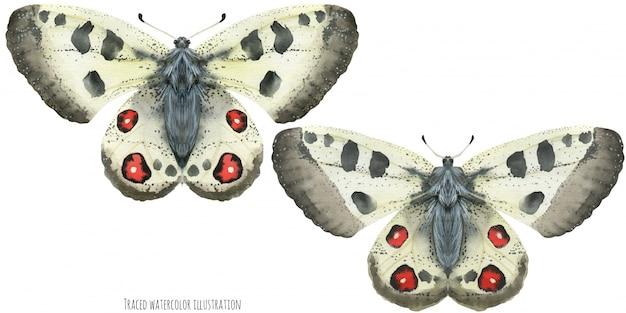 Акварельные бабочки аполлон