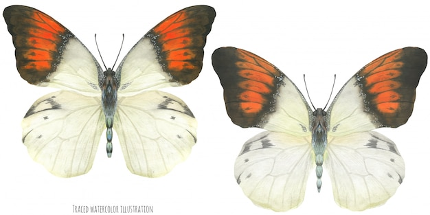 水彩のヘボモア蝶