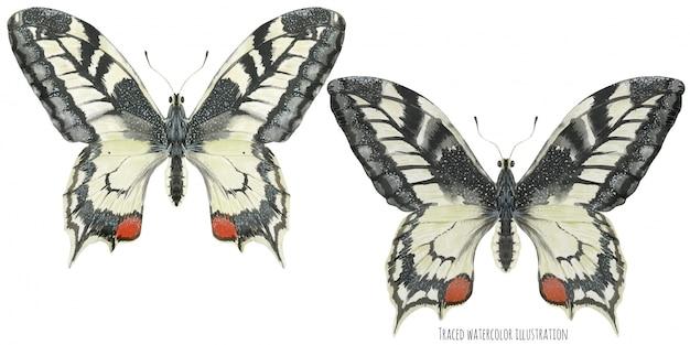 Две бабочки махаона