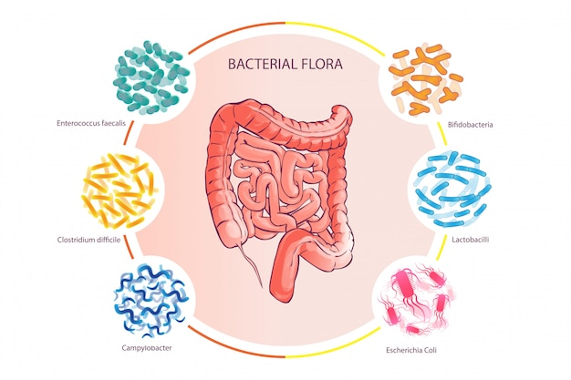 良い細菌フローライラスト人間結腸ベクトル