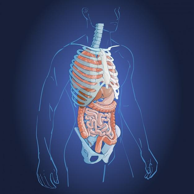 Система внутренних органов