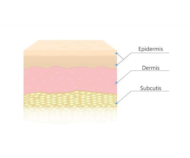 肌層ベクトル