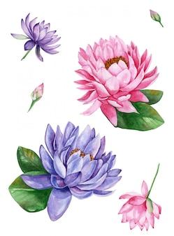 ピンクと紫のスイレンの蓮の花、水彩イラスト