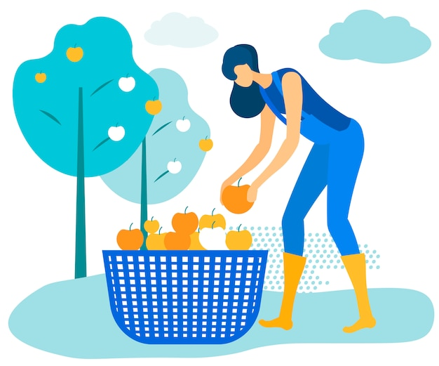 Женщина в синем комбинезоне складывает яблоки в корзину.