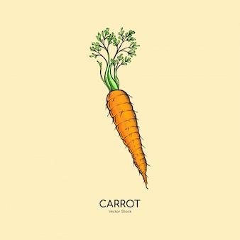 Морковь иллюстрация