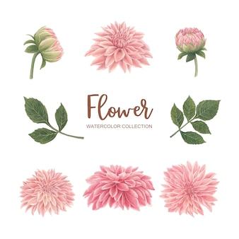 Цветение цветка акварель розовая хризантема на белом для декоративного использования.