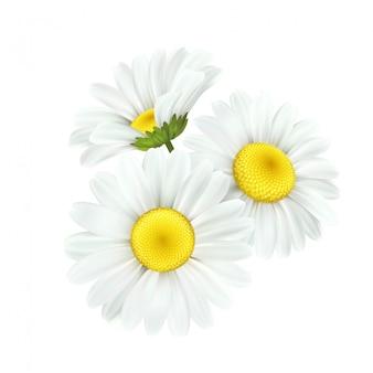 白で隔離されるカモミールデイジーの花