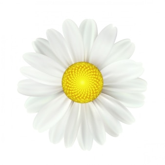 分離された春のデイジーの花