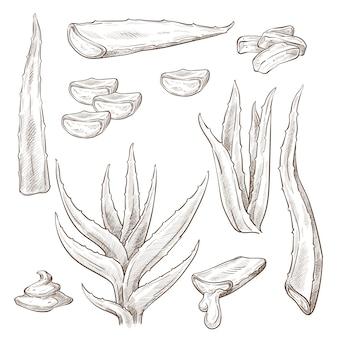 アロエベラの葉と滴る液体モノクロケッチ