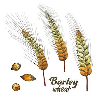 カラーデザインされた大麦小麦スパイクとシードセット。