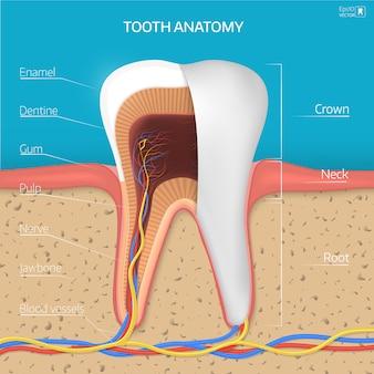 Структура зуба.