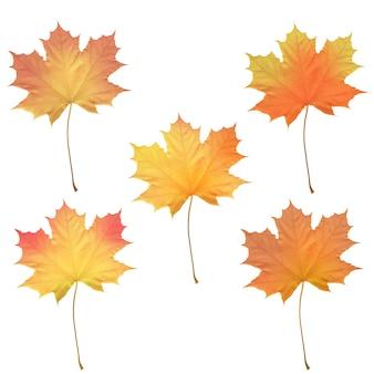 現実的なカエデの葉に孤立した白い背景