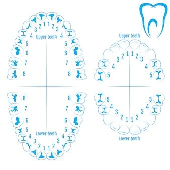 歯科矯正医の人間の歯の解剖学のベクトル
