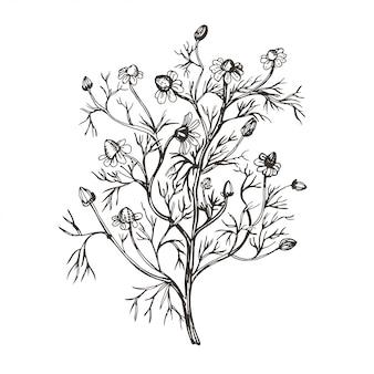Векторное изображение ромашки аптеки. иллюстрация в винтажном стиле.