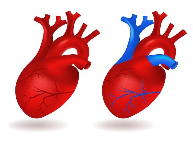 人間の心臓モデル
