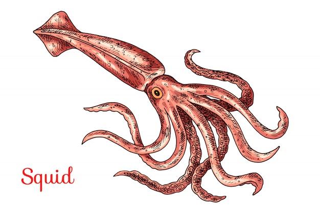 イカの手描きイラスト