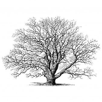 オークツリーのビンテージイラスト