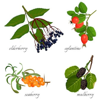 ブルーエルダーベリー、熟したエグラン、新鮮なシーベリー、そして甘いクワ