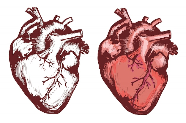 Анатомическое человеческое сердце, рисованная векторная иллюстрация