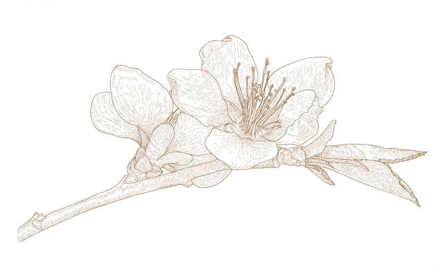 Гравюра чертеж цветка сакуры