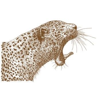 Гравюра рисунок иллюстрации леопарда