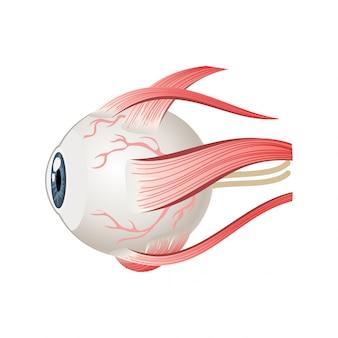 眼球の筋肉のシンボル。側面の目の解剖学。白い背景で隔離の漫画スタイルのイラスト