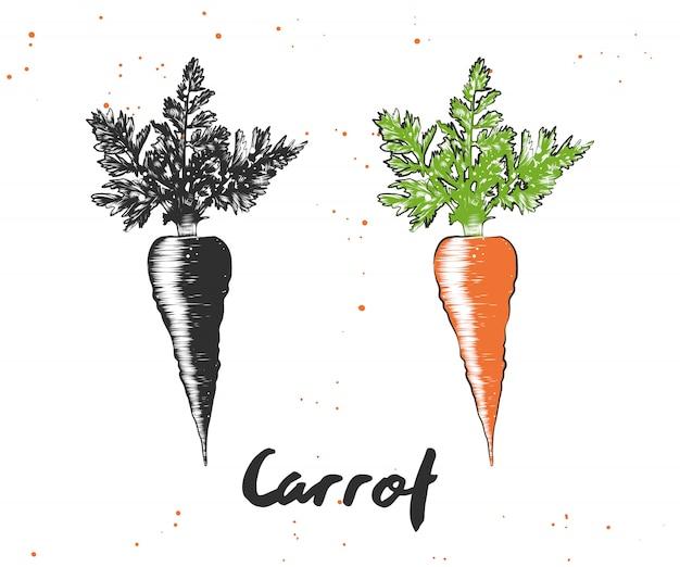 Ручной обращается эскиз моркови