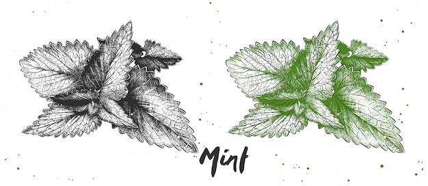 ミントの手描きのスケッチ