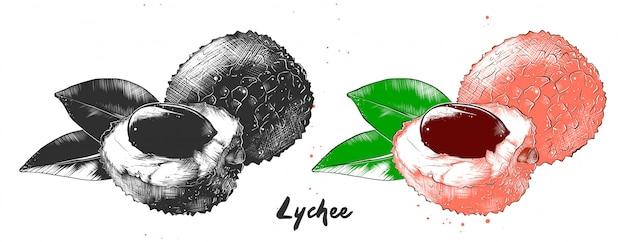 ライチ果実の手描きのスケッチ