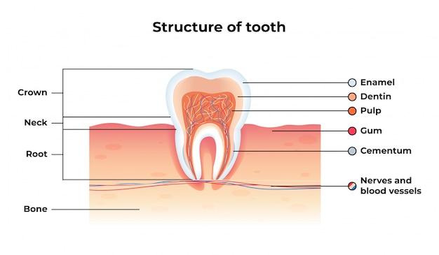 フラットバナー構造歯インフォグラフィック。