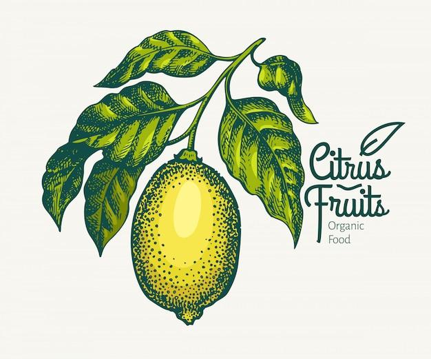 レモンの枝のイラスト。手描きベクトルフルーツイラスト。刻まれたスタイルレトロな柑橘類のイラスト。
