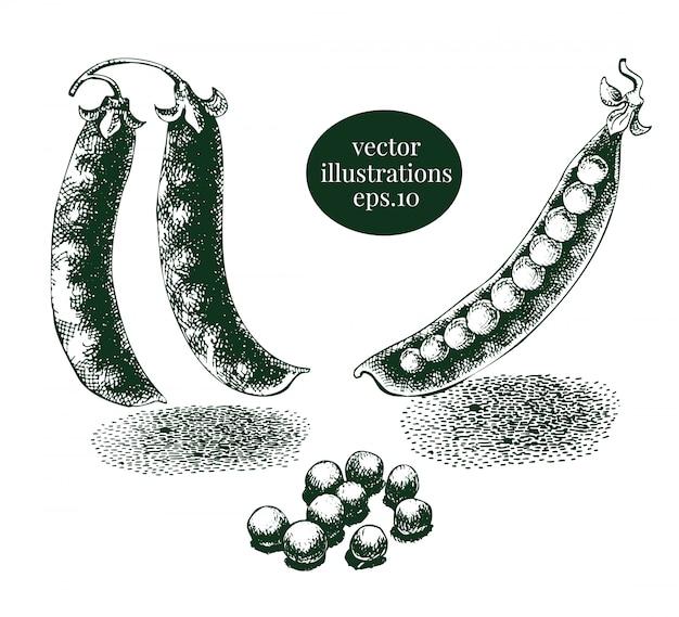 グリーンピースとエンドウ豆の鞘の手描きイラストセット。