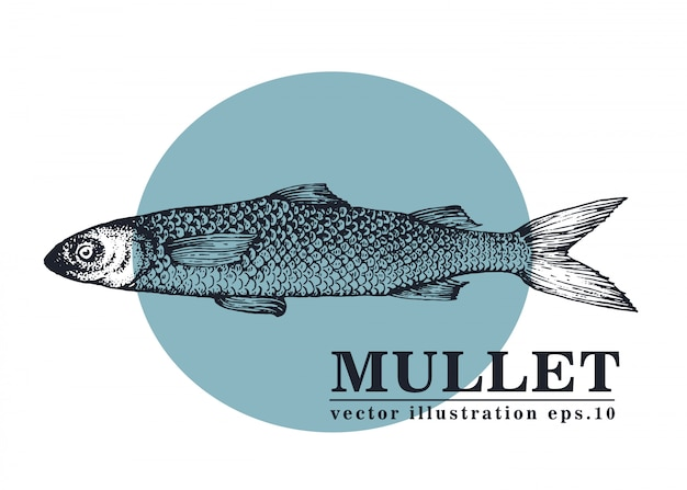 Нарисованная рукой иллюстрация вектора рыб кефали.