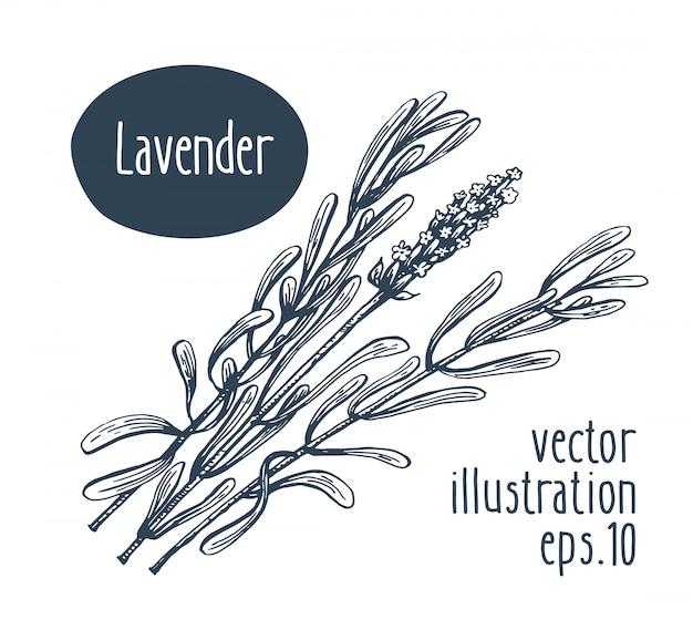 ラベンダーの枝ベクトル手描きイラスト。
